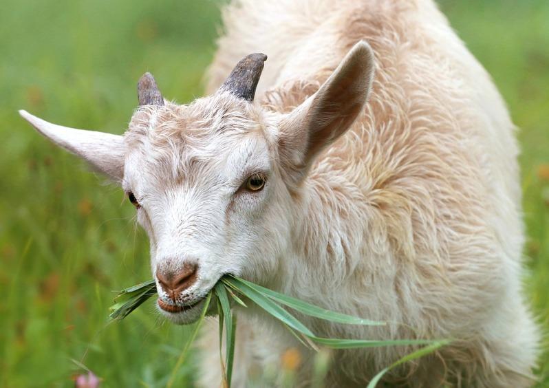 goat-1596880_960_720.jpg