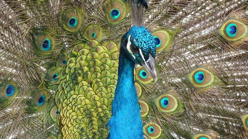 peacock-90051_960_720.jpg