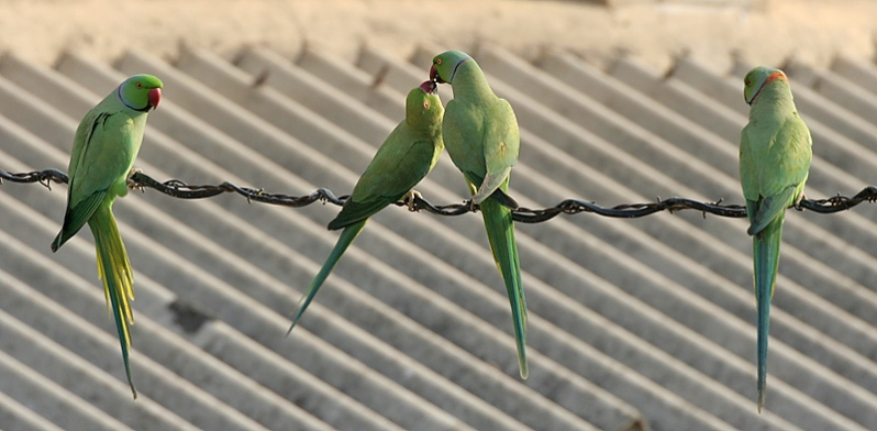 Rose-ringed_Parakeets_(Male_&_Female)-_Foreplay_at_Hodal_while_other_males_look_at_I_Picture_0093